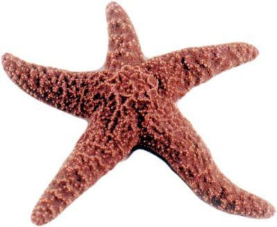 "Preserved 6-8"" Starfish Plain Vacuum Pack (10)"