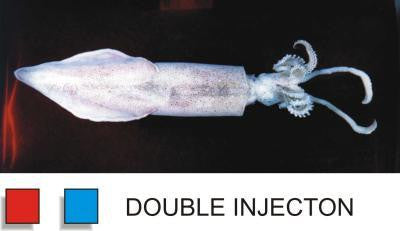 Preserved 12-16 inch Squid Double Injected  Pk of 1