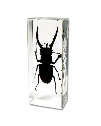 Ambor Stag Beetle Paperweight - Real Insect Encased in Acrylic 110x44x24