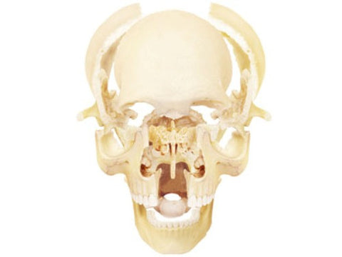 4D Human Anatomy Exploded Skull Model 3D Puzzle – Online Science Mall