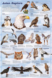 Laminated Avian Raptors Poster 24x36 Birds of Prey and Scavengers