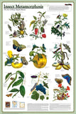 Laminated Insect Metamorphosis Poster 24x36 Magnificent!