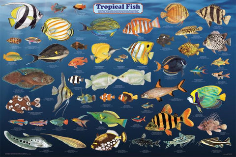 Beautiful! Laminated Tropical Fish Poster 24x36