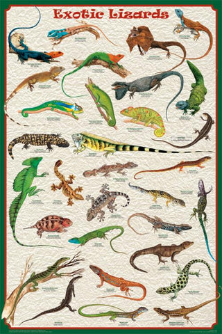 Lovely! Laminated Exotic Lizards Poster 24x36  Unique