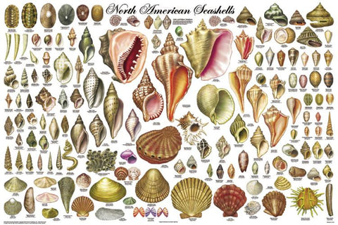 North American Seashells Poster 24x36