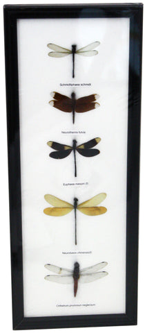 5 Dragonfly Specimens on Cotton Backed Wooden Frame