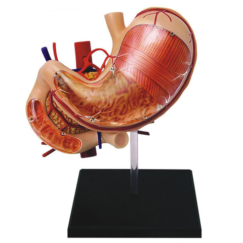4D Human Anatomy Stomach Model 3D CutAway Puzzle