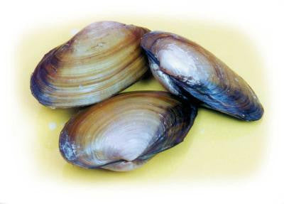 "Vacuum Pack of 10 Preserved 3-4"" Clams"