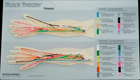 Forearm Muscle Threader - Human Anatomical Model