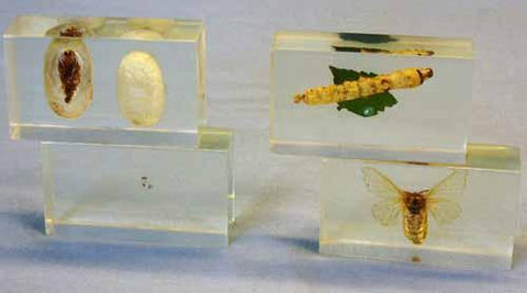 Acrylic Specimen Embedment: Lifecycle of the Silk Moth  4pc Set