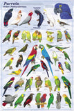 Laminated Parrots The Psittaciformes Poster 24x36