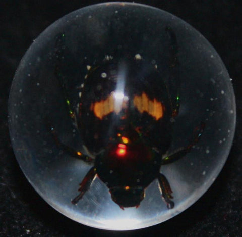 "3/4"" Lucite Embedment Marble with Fortune Beetle - Bug Inside"