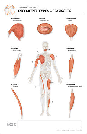 11x17 Post-It Anatomy Poster - Understanding the Muscles of the Human Body