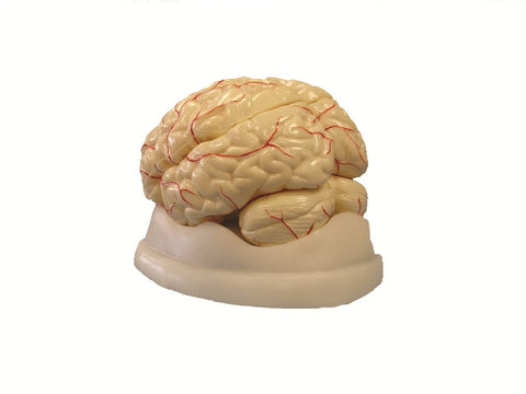 8 Part Deluxe Brain Model: Human Anatomy