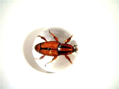 "3/4"" Lucite Embedment Marble w Snout Beetle Insect - Bug Inside"