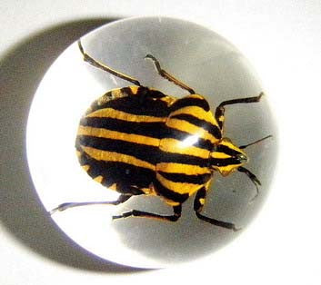 "3/4"" Lucite Embedment Marble w Stripe Bug Insect Inside"