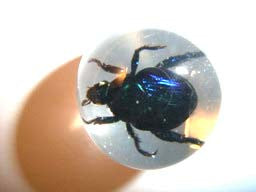 "3/4"" Lucite Embedment Marble w Real Blue Cockchafer Insect- Bug Inside"