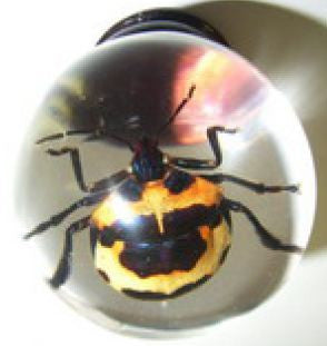 Real Camelia Shield Bug Embedment in Small Acrylic Sphere 1.5 Inches