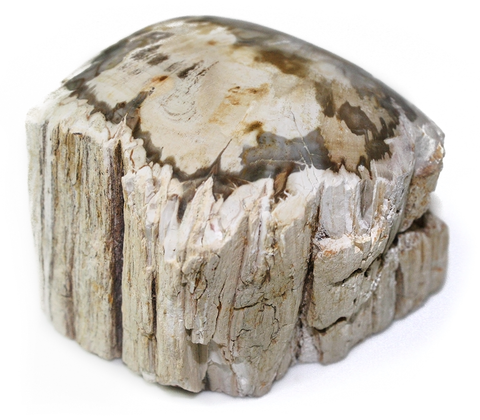 Gray/White Petrified Wood Branch Cross Section w Polished End - 2.5 Inch w Info Card