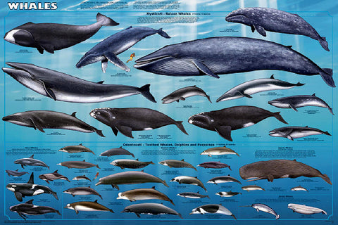 Laminated Whales Poster/Chart 24x36 Killer Whale, Orca, Beluga