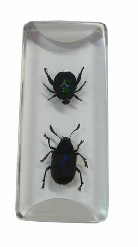 Beetle Specimens Acrylic Embedment 2 Inches x 7/8 Inches x 1/4 Inch