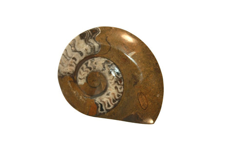 Large Polished Ammonite Fossil 3.75 Inches