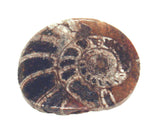 Ammonite Treasure Chest Collector Rock 0.50-0.75 Inch w Info Card