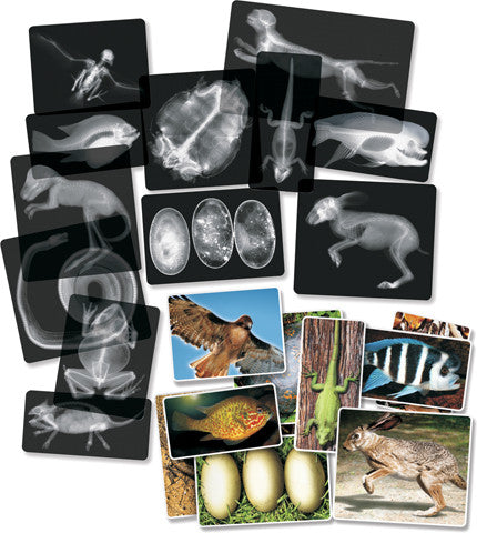 Educational X-Ray Replicas - Animals Set by Roylco