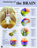 Human Brain Anatomy Detailed Poster; 19 x 24