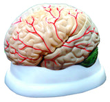 3 Part Brain Model: Human Anatomy