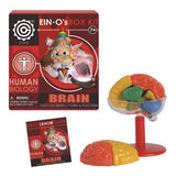 Ein-O's Human Biology Box Kit - The Human Brain