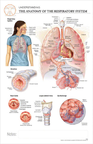 11x17 Post-It Anatomy Poster - The Anatomy of the Respiratory System - Online Science Mall