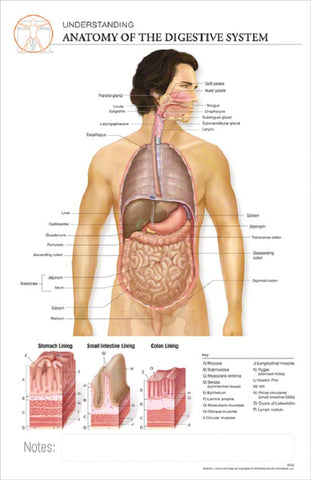 11x17 Post-It Anatomy Poster - The Anatomy of the Human Digestive System - Online Science Mall