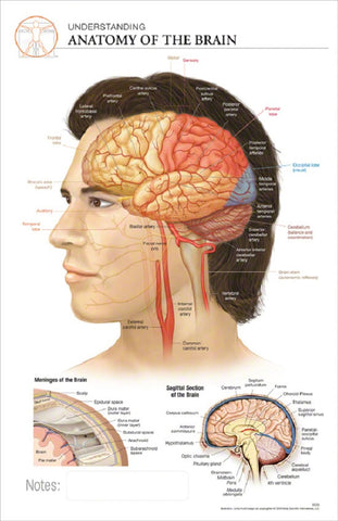 11x17 Post-It Anatomy Poster - The Anatomy of the Human Brain - Online Science Mall
