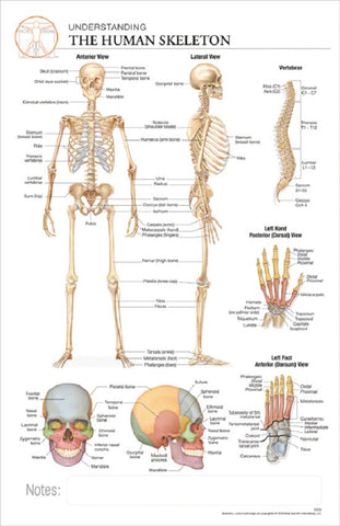 11x17 Post-It Anatomy Poster - The Anatomy of the Human Skeletal System