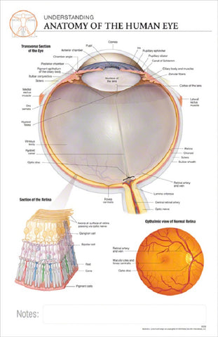 11x17 Post-It Anatomy Poster - The Anatomy of the Human Eye - Online Science Mall