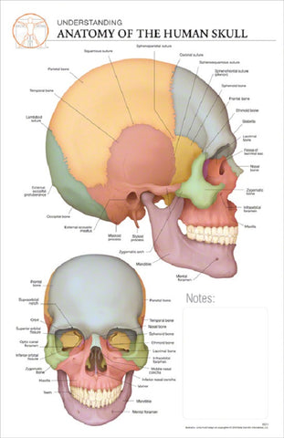 11x17 Post-It Anatomy Poster - The Bones of the Human Skull - Online Science Mall