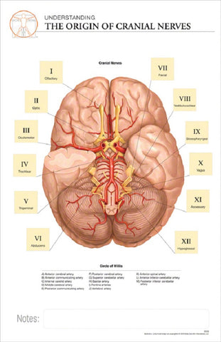 11x17 Post-It Anatomy Poster - The Origins of the Cranial Nerves