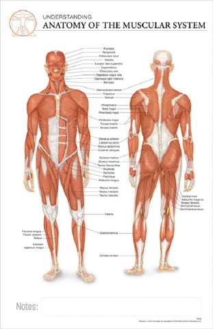11x17 Post-It Anatomy Poster - The Anatomy of the Human Muscular System