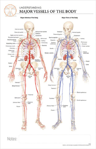 11x17 Post-It Anatomy Poster - An Overview of the Human Circulatory System