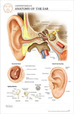 11x17 Post-It Anatomy Poster - Understanding the Structures of the Human Ear - Online Science Mall