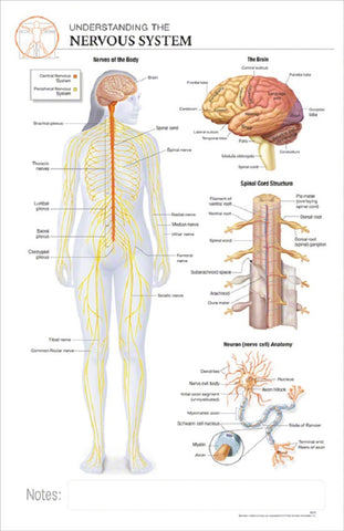 11x17 Post-It Anatomy Poster - Understanding the Human Nervous System - Online Science Mall