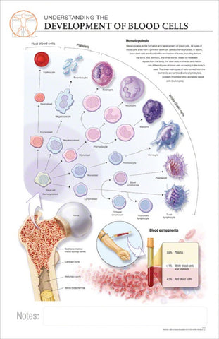 11x17 Post-It Anatomy Poster - Understanding How Blood Cells Develop - Online Science Mall