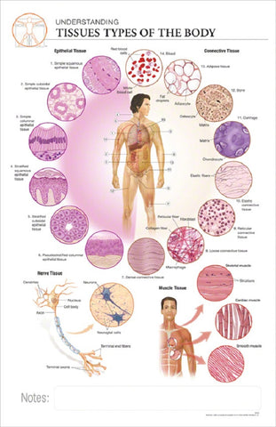 11x17 Anatomy Poster Understanding The Different Tissue Types