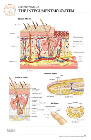 11x17 Post-It Anatomy Poster - Understanding The Integumentary System - Online Science Mall