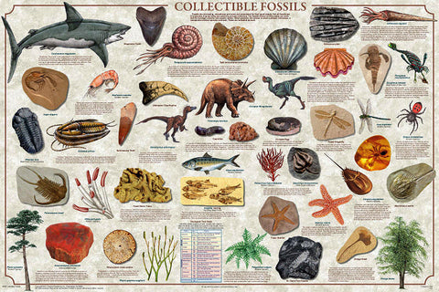 Laminated Collectible Fossils Poster 24x36 Geology