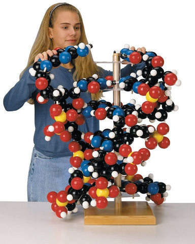 Giant DNA Molecular Model - Human Anatomy Model