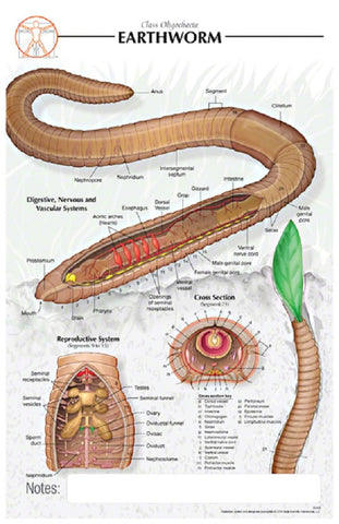 11x17 Post-It Biological Poster - Basic Anatomy of the Earthworm
