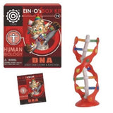 Ein-O's Human Biology Kits - Set of 6: Brain, Eye, Teeth, DNA, Heart and Skeleton-Skull