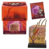 Ein-O's SET of SIX Human Anatomy Kits: Heart, Skin, Brain and Skull, Torso, Eye, Teeth and Gums